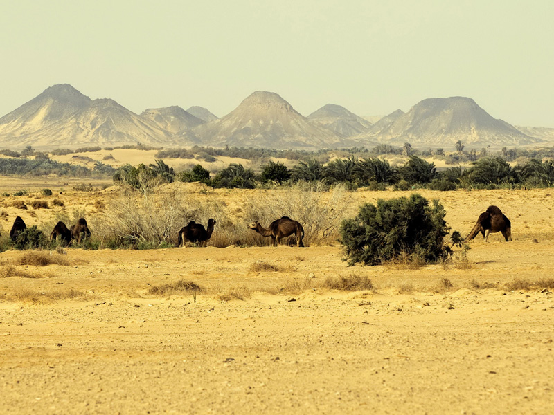 dromedaries-breeding-bahariya