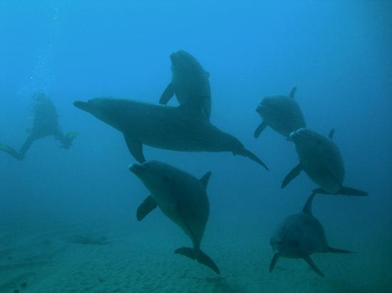 dolphins-with-diver